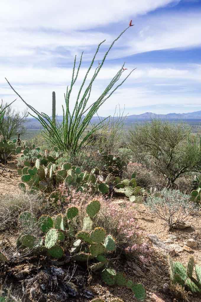 saguaro national park cactus