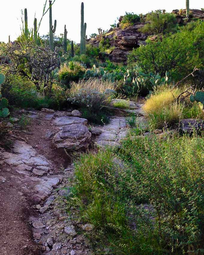 hiking trail on the desert with shrubs and cactus