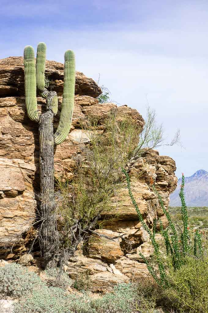 cactus against rock in saguaro national park
