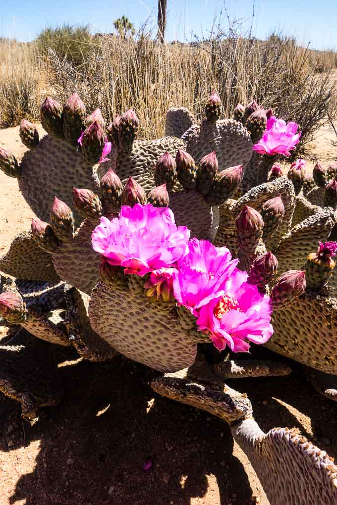 desert cactus flower in joshua tree